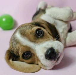Beagle mini, a pronta entrega