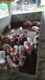 Vende-se porcos