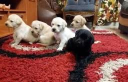 Labrador todas as cores com garantia de saúde e procedência