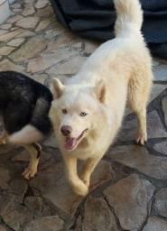 Husky procurando Namorada