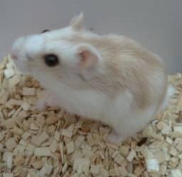 Hamster Anão Russo, Hamister, Roedores, Roedor, Pet