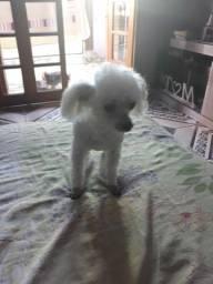 Poodle micro toy procura namorada