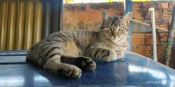 Doa-se uma gata. Dócil, ideal para ambiente doméstico. Idade de 6 meses aproximadamente.