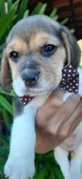Porte pequeno filhote beagle com vacina e pedigree