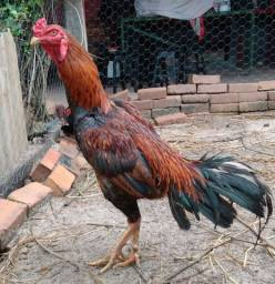 Vendo frango de boa procedência