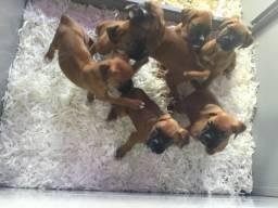Machinhos e fêmeas de Boxer com pedigree e garantias de saúde! Parcelamento em 12x