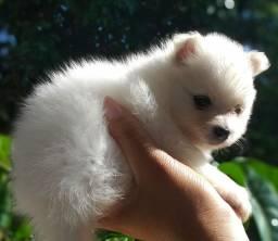 Filhote de Lulu da Pomerânia disponível para reserva.