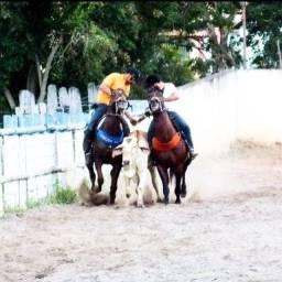 Cavalo Qm á venda