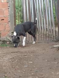 Pitbull blue nose fêmea