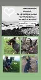 Cachorros da Raça Heeler - Boiadeiro australiano