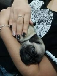 Pug bbs c pedigree