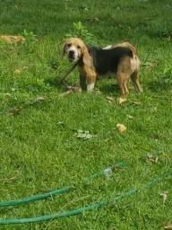 Beagle Doação
