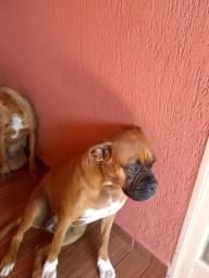 Doa- se uma cachorra Boxer de 3 anos, castrada