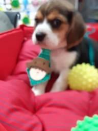 Beagle tricolor MACHO DISPONIVEL
