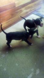 Filhote América staffordshire terrier