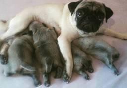 Filhotes pugs
