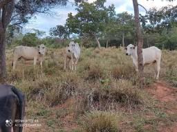 Vendo 3 vacas nelore oportunidade