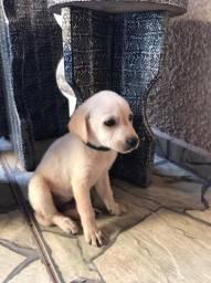 Labrador filhote (valor negociável e entrego)