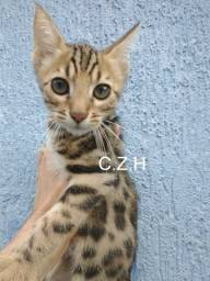 Filhotes de gato bengal pedigree e microchip macho