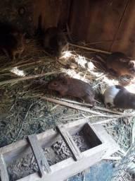 Vendo porquinho da Índia