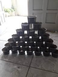 Minhocas Gigante Africana 50 unidades