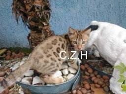 Gato bengal pedigree e microchip macho