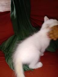 Estou vendendo esse gatinho da raça turco angorá