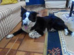 Lindos Filhotes de Border Collie com Pedigree