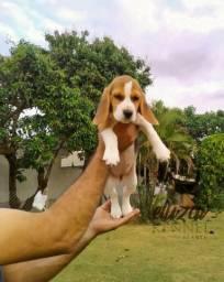 Imperdível- Filhotes de Beagle com Procedência e Qualidade