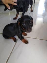 Cão Fêmea de salsichinha (daschund)