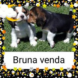 Lindos filhotes de Beagle exóticos