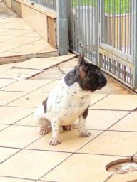 Bulldog Francês padreador para cruza.