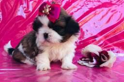Filhote Shitzu fêmea tricolor pacotinho de amor