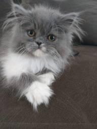Gato persar