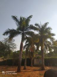 Palmeiras imperial lundas