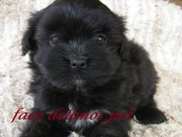 Lhasa apso bebes delanos pet garanta hoje seu bebe !