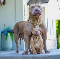 Pitbulls lindos com pedigree e garantia!!!