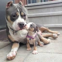 Filhotes de Pitbull com pedigree e contrato completo!