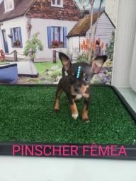 Pinscher macho e fêmea disponível