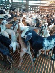 Caprinos e ovinos