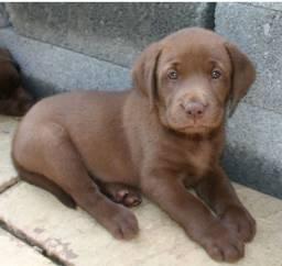 Labrador - Lindos e Saudáveis !!!