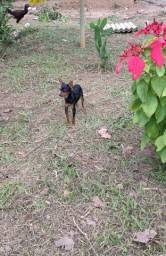 Pinscher N° 1 original, machinho
