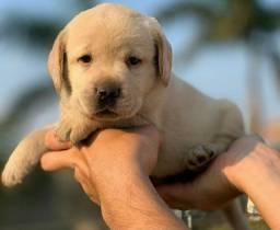 Labrador Retriever Fêmea