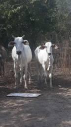 Vaca e bezerro macho nelore
