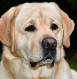 Labrador Femea Com Pedigree