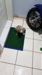 Vendo filhote fêmea American pitbull Terrier Blue