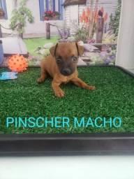 Pinscher adquira hoje seu filhote