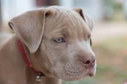 Filhotes de Pitbull com pedigree em até 12x!!