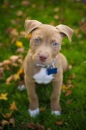 Filhotes de Pitbull com pedigree e contrato completo!!