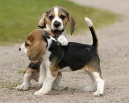 Beagle, fêmeas e machinhos, já vacinados e com todas as garantias em contrato.